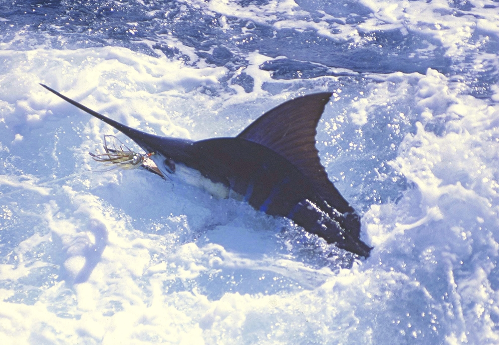 250-pound striped marlin off New Zealand         Photo: Matt Rigney