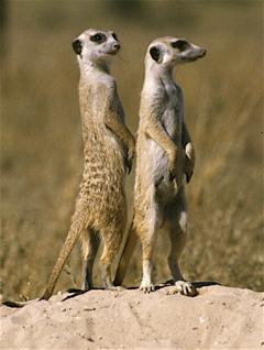 home_meerkat.jpg