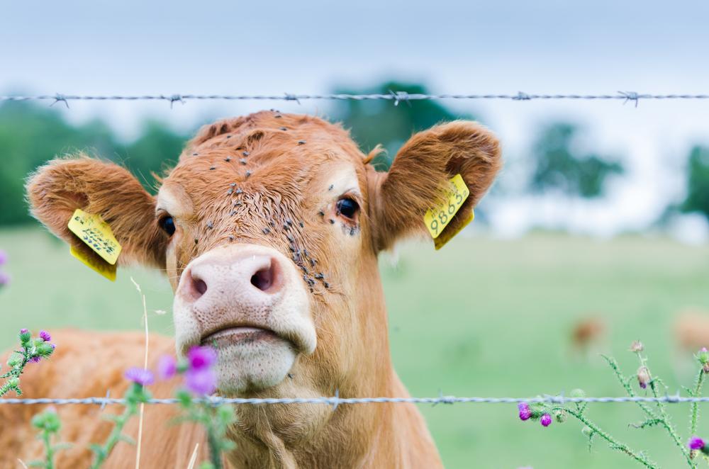Foto 3: de Limburgse koe.