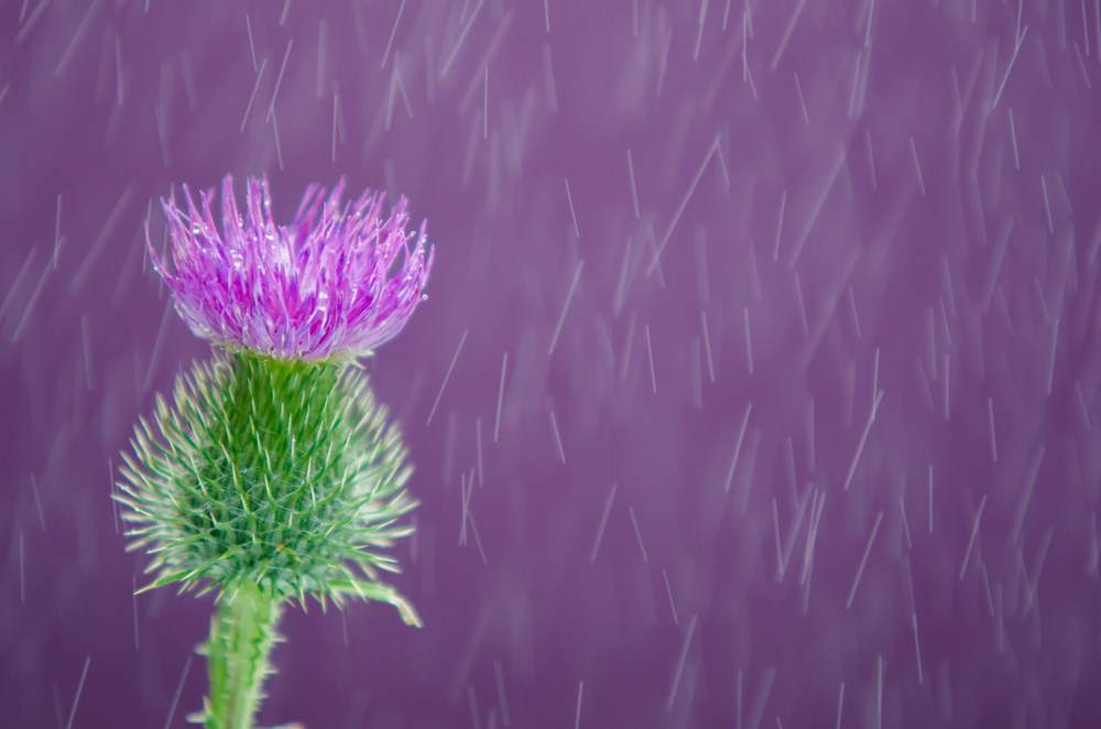 Distel in de regen.