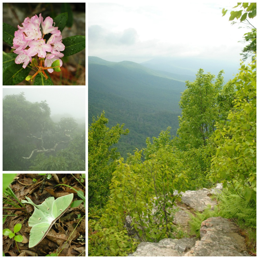 Wild rhodendrons just coming into bloom, a view of the Appalachian Trail in the distance, a luna moth we startled off a lichen-covered tree, and dense morning mist in the mountains.