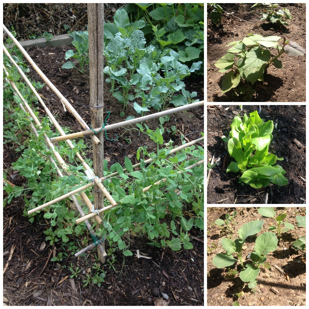Our May garden: peas, broccoli, sweet potatoes, lettuce, and collards.