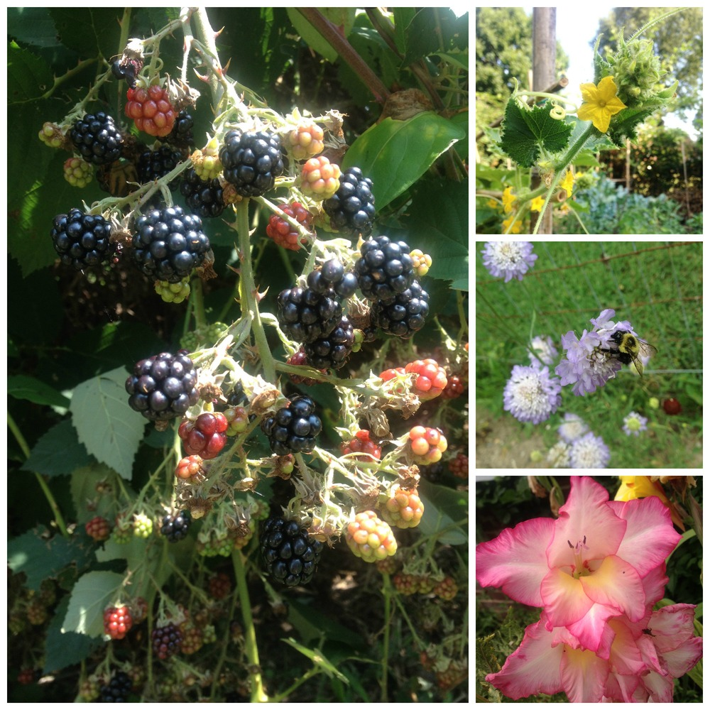 So much going on in July: blackberries, cucumbers, pollinators, and gladiolas.