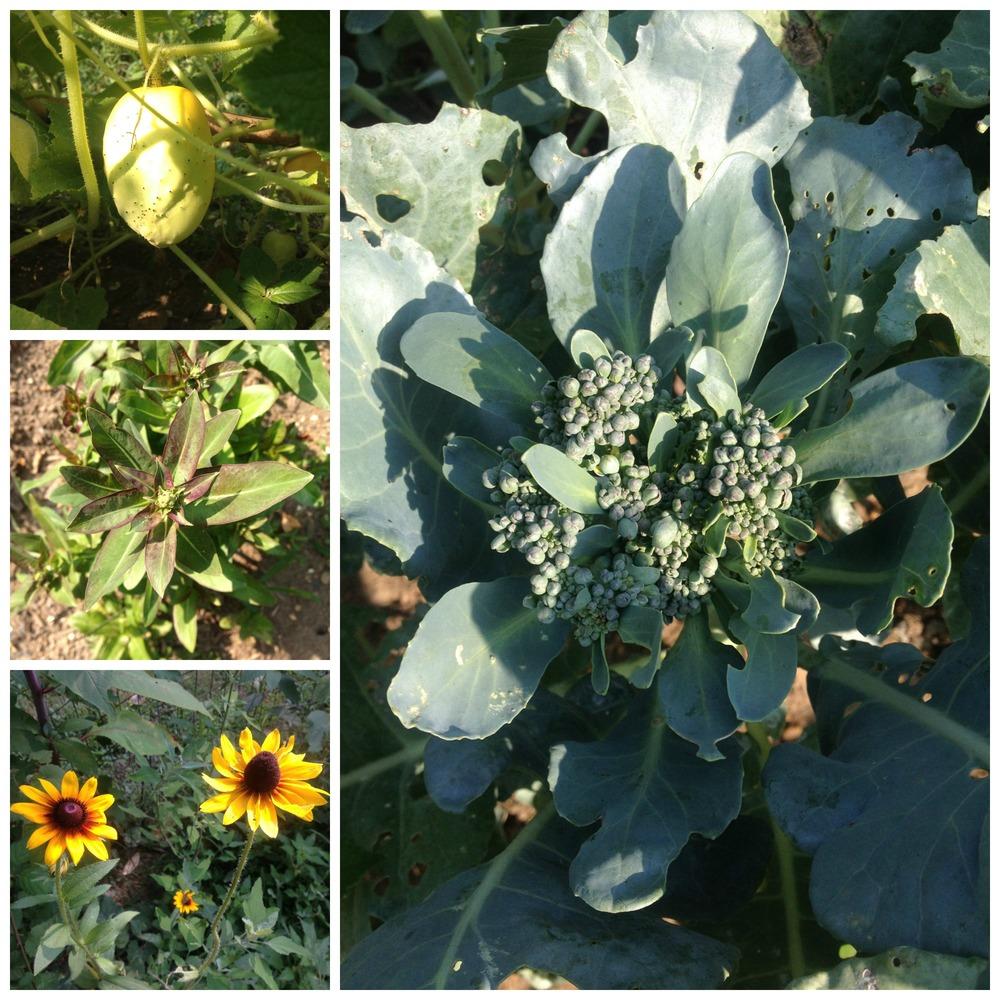 August so far: cucumbers, broccoli, black-eyed Susans, and lettuce that's about to bolt.