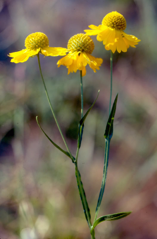 Virginia Sneezeweed photo by Steve Croy