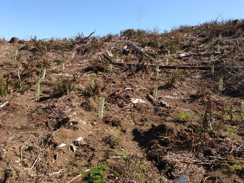 I was surrounded by tree farms. Most of them were unharvested with large trees, but this section had been recently harvested (clearcut). If you look close, you'll see baby Douglas Fir that have been planted and covered with protective sleeves. Another 50 years or so and they'll be cut again. The cycle continues.