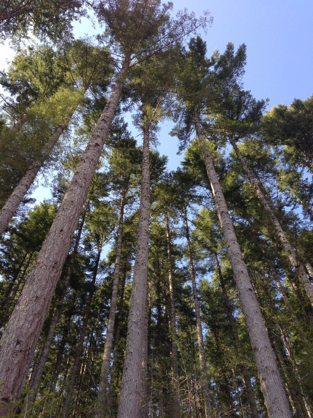 Tall trees :)