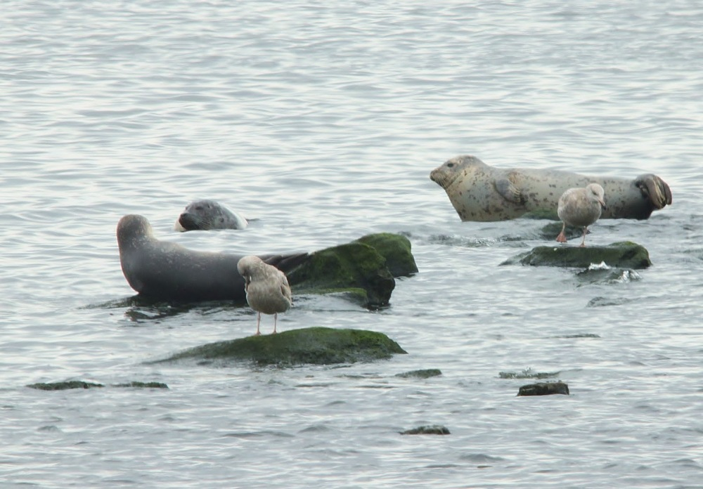 Why go to Alaska to see seals? NY Harbor shot higlighted on Nature on the Edge NYC