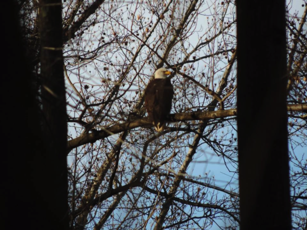 Bald eagle spotting