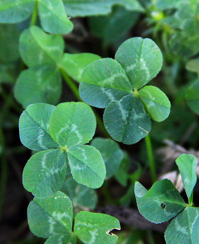 Four Leaf Clover.jpg