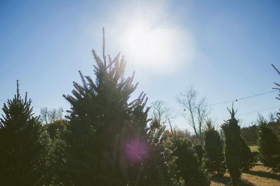Christmas Trees :: The Arrow House