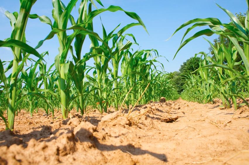 corn 01.jpg
