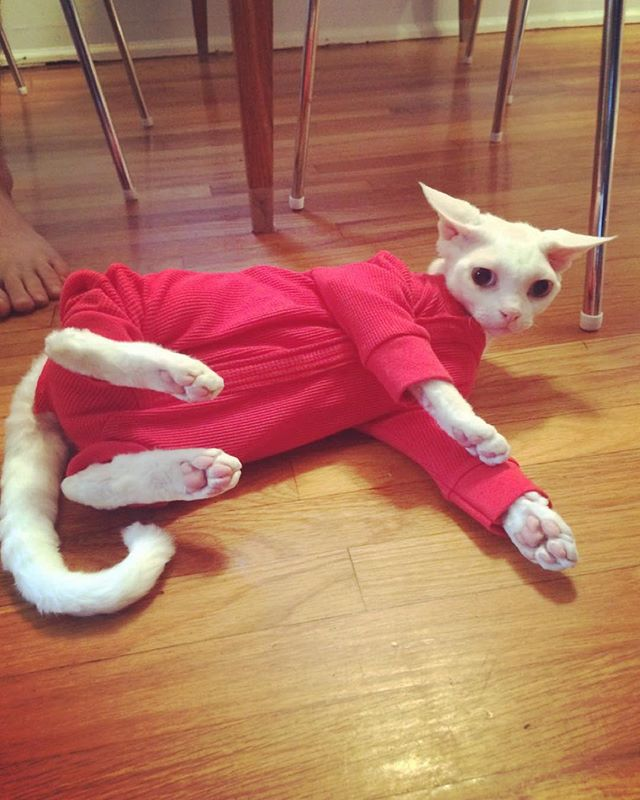 a customer of ours got their cat to wear one of @toddlandstore's cat pajamas. this cat is awesomeee!!!