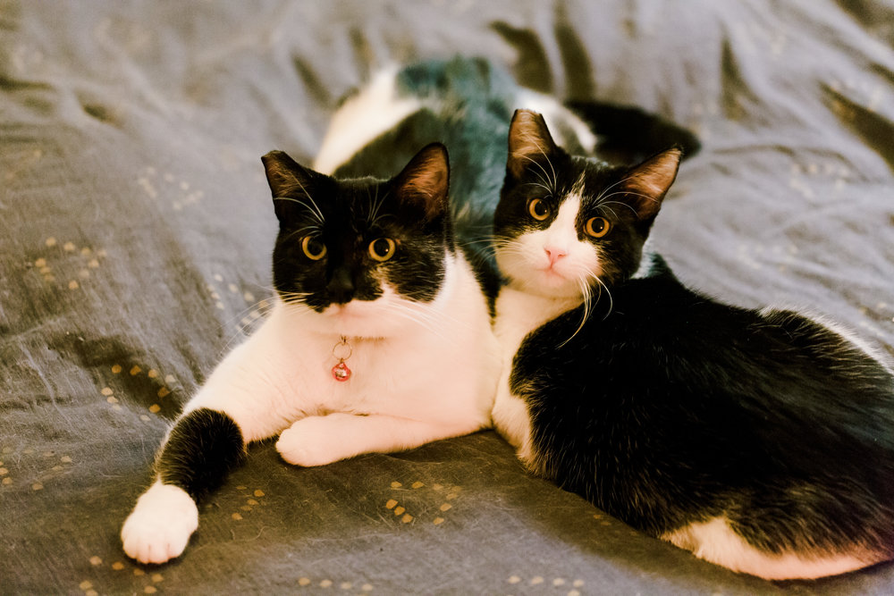 A little background on them. - My neighbor and I found this amazing mommy and daughter pair near our building back in January. Thanks to LUXE Paws, we were able to get them cleaned and fixed! They are now ready for adoption as they've completed a couple months of training!They are the nicest and most friendly cats ever! No bad habits aside from always wanting to eat Haha! They always go to the bathroom in the litter and they will clean up nicely when they're done! I have a little scratching board so they never scratch my furniture! They love to play and will sleep next to you at night quietly! They rarely meow, but they will purr when you pet them! They must be adopted together... just look at them!!! They are perfect for a 1st time cat adopter since having 2 cats is best for the cats temperament and social skills.Please email will@willteeyang.com