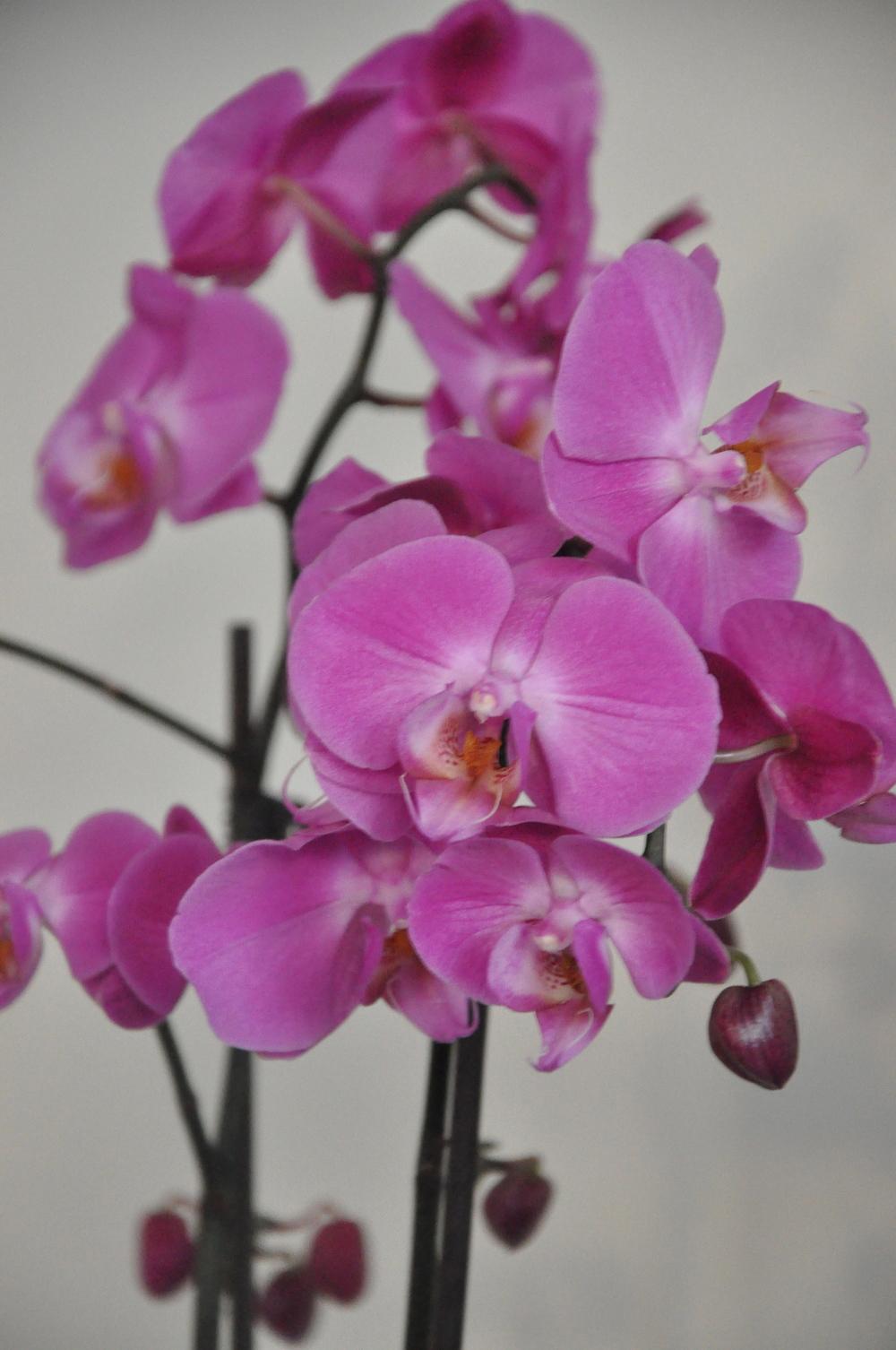 Lila orchidée   Foto : Palatsliv