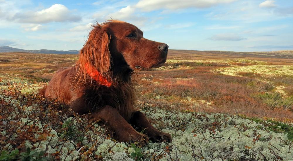 Jegere som er tildelt jakt på kortfeltene, og jegere som leier på åremål, får alle tilbud om å trene hundene sine i tildelt periode i høst. Men ordinær rypejakt blir det ikke i Dalsbygda i høst. Arkivfoto: A. Nyaas