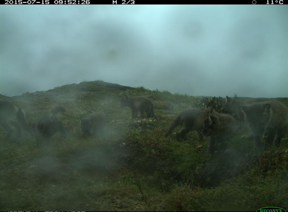 Dette bildet viser 7 valper pluss tispa (til venstre). Foto: Avlsprogrammet NINA (Copyright)