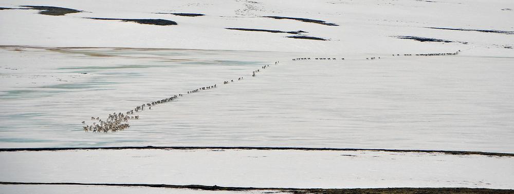 Denne flokken krysset Hiåsjøen fredag 6. mai. - Reinen fulgte skutersporet vårt fra dagen før. Det var bløtt gjennomslagsføre og tungt å gå utenfor. Vi ble litt skeptiske da dyrene skjenet av og krysset sjøen der det var overvatning, forteller Kristin Lund Austvik (foto).