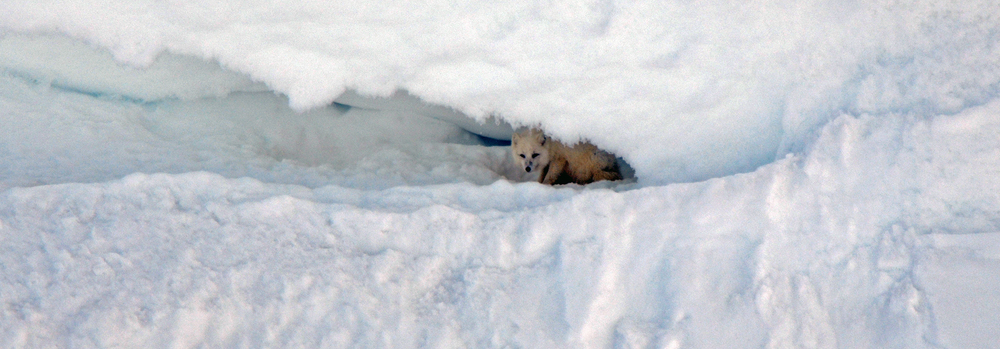Hyggelig gjensyn med en av fjellrevene i området.Denne dukket opp i snøfonna mens mannskapet hadde matpause. Foto: Kristin Lund Austvik