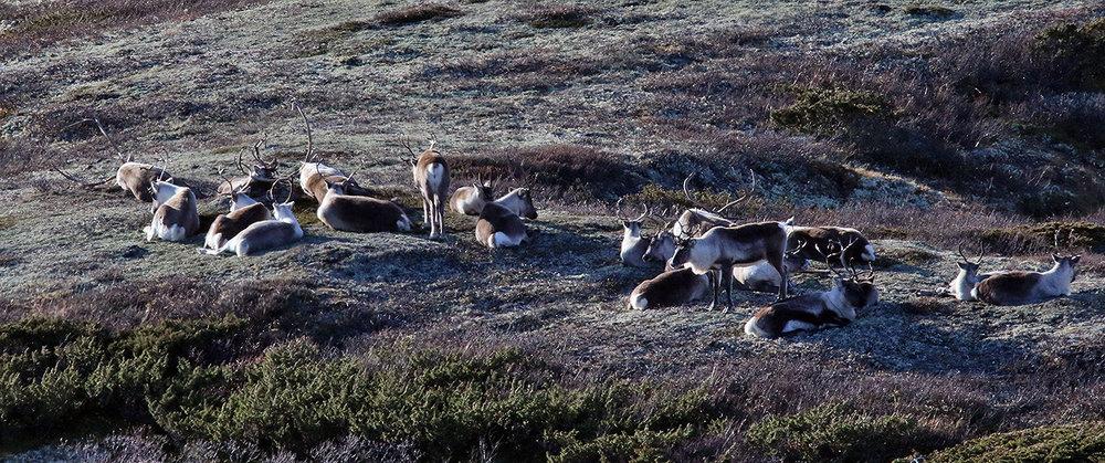 Jaktperioden er over. Nå gjelder det å ta inn nok næring før vinteren - og å slappe av. Foto: Arne Nyaas