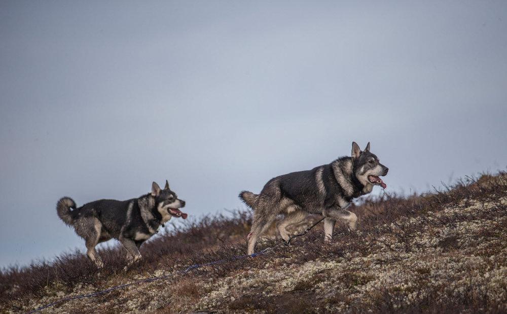 Den ene av hundene trakk båndet etter seg. Foto: Magnar Lien