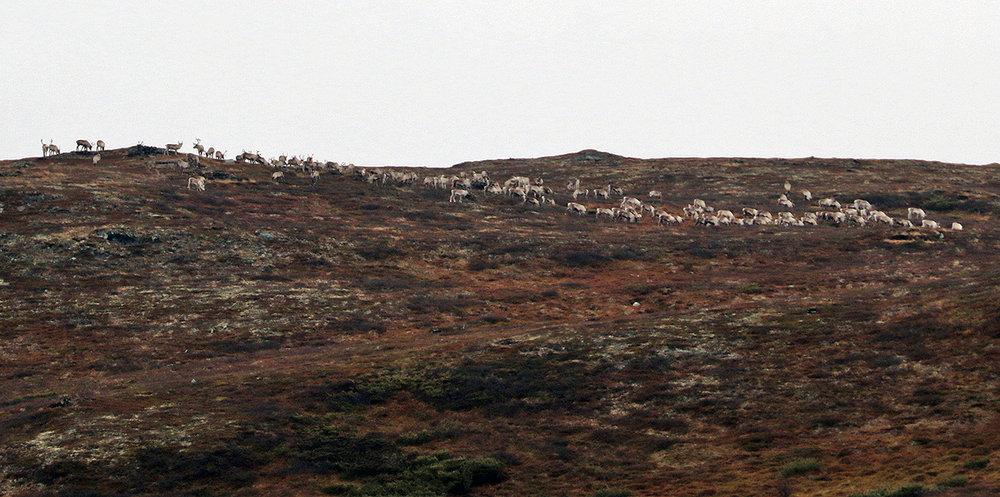 Villreinhop fotografert på toppen av Tangen i Vingelen torsdag 20. oktober. Foto: A. Nyaas
