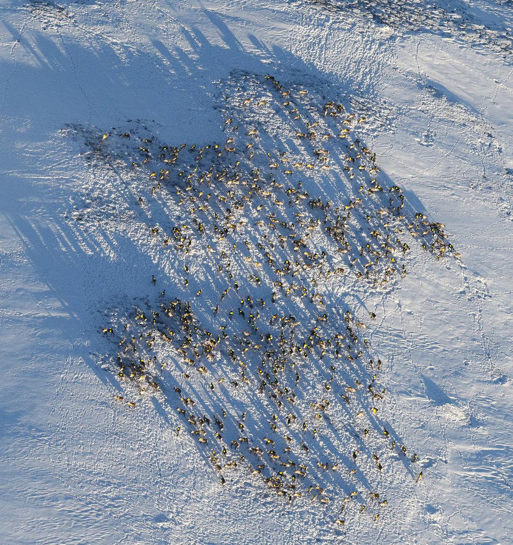 """Bildet som ble brukt for å finne antall dyr i """"storhopen"""". Opptellinga viste 581 dyr. Utsnitt av dette bildet, se under. Foto: A. Nyaas"""