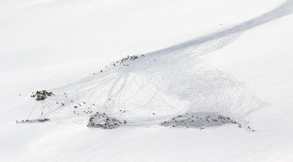 Sjeldent gode sporingsforhold på Langfredag. Denne fostringsflokken ble fotografert på vestsida av Litj-Hiåsjøen i Tynset. Sporslepa var godt synlig på lang avstand. Foto: A. Nyaas