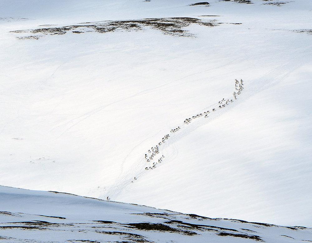 Utsnitt av flokken ved Dølbuøyan (se bildet over). Foto: Kristin Lund Austvik, Kvikne Utmarksråd