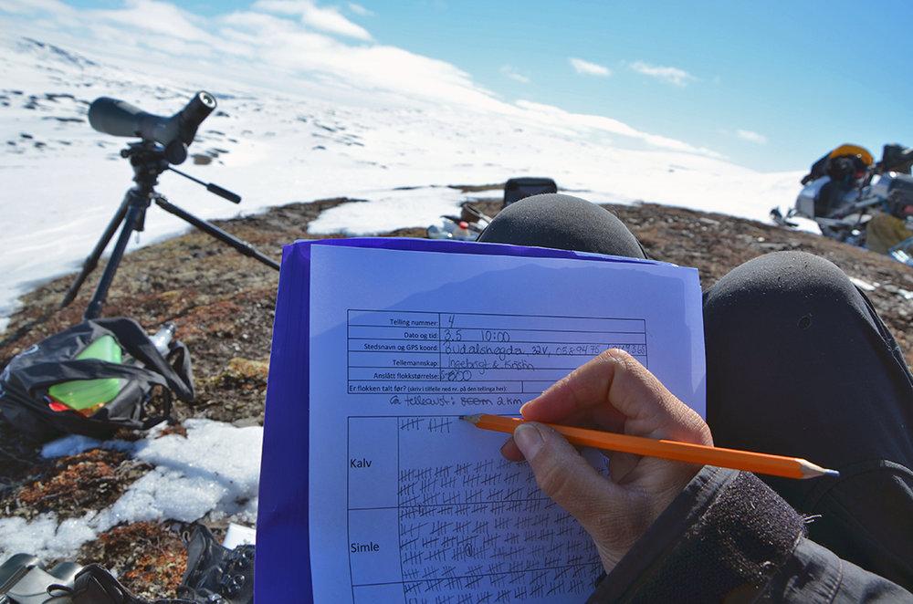 Alle observasjoner krysses av på skjema. Antall dyr fordelt på simle, kalv, ungdyr og bukk registreres. Foto: Kristin Lund Austvik, Kvikne Utmarksråd