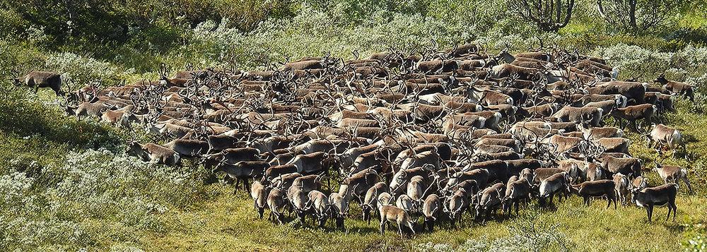 Dyr på tur sørover; her fotografert ved Stor-Ya. Foto: Ingebrigt Storli