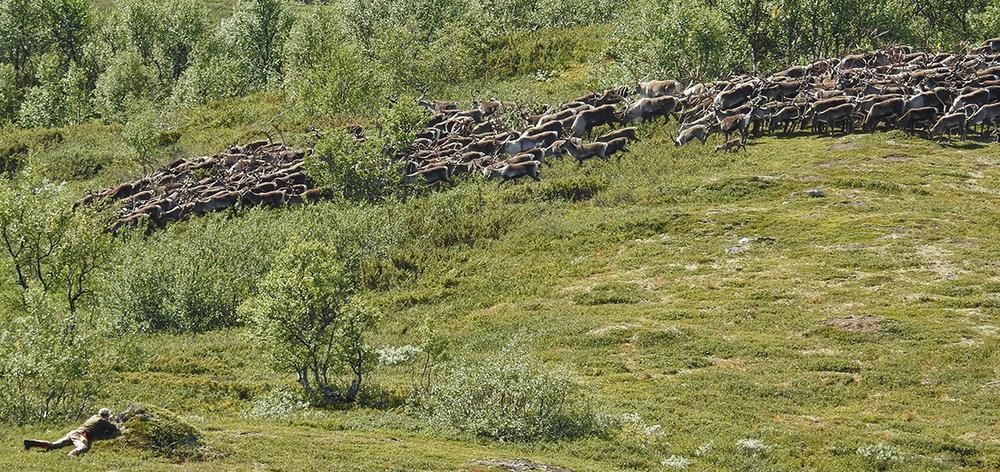 Flokk som passerer i området ved Stor-Ya. Når dyrene går så tett som her, kan du ikke løsne skudd. Foto: Ingebrigt Storli