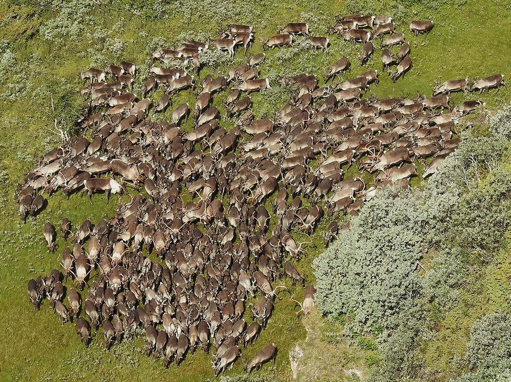 Dyr som passerer Tjuvholttangen i dag, på tur sørover. Foto: Ingebrigt Storli