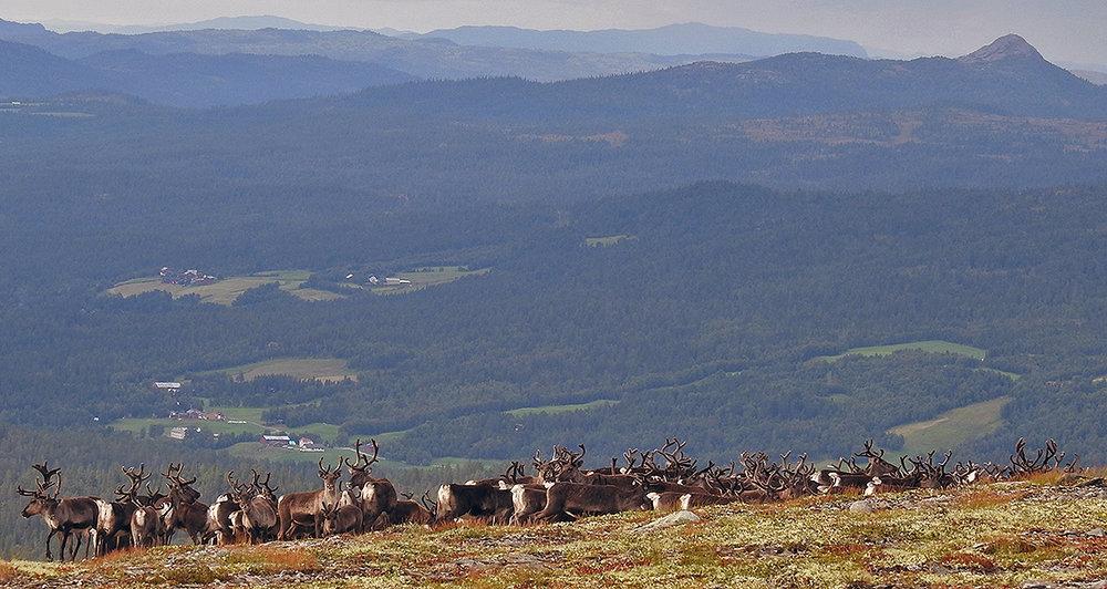 Villreinen i Forollhogna står nå langt sør og langt vest i området. For 10 dager siden stod dyrene langt nord. Denne flokkene ble fotografert i Budal tirsdag 22. august. Foto: Ingebrigt Storli