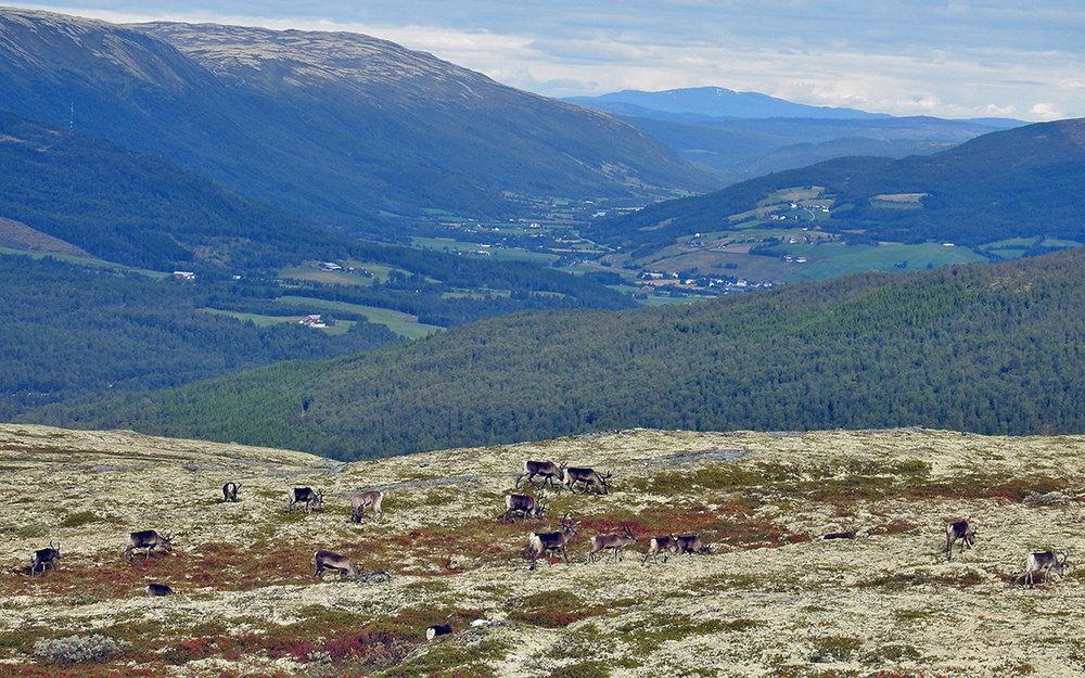 Dyr fotografert på Eidsfjellet i dag (fredag 1. september). Kvikne-bygda i bagrunnen. Foto: Ingebrigt Storli