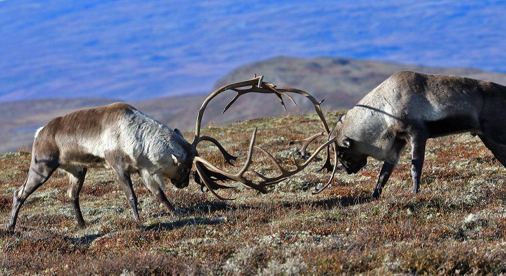 Årets kvote i Forollhogna er på 600 dyr. Anslaget ei uke før jaktslutt er at cirka 300 dyr er felt. Arkivfoto: Arne Nyaas