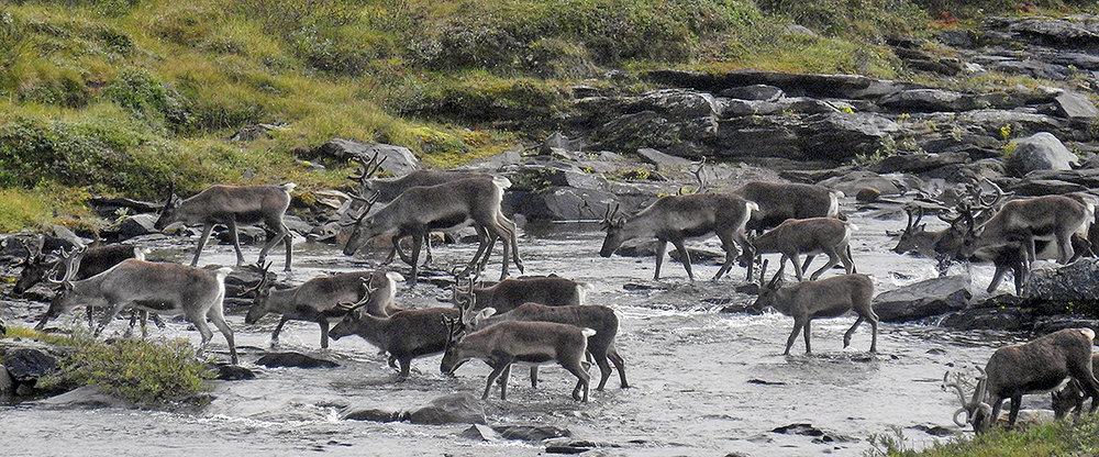 Av kvoten på 600 dyr ble 481 felt i årets jakt i Forollhogna. Foto: Ingebrigt Storli