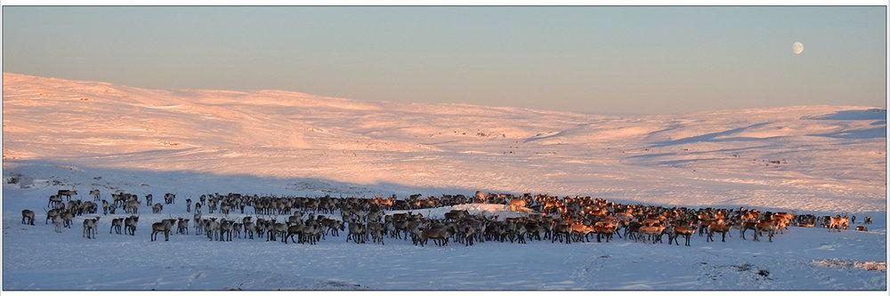 Storflokken står nå langt vest på Kvikne, i området vest for Hammerhøa og mot Stor-Svergjesjøen. Foto: Ingebrigt Storli
