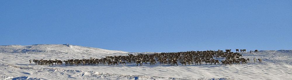 Den andre store flokken i går. Foto: Ingebrigt Storli
