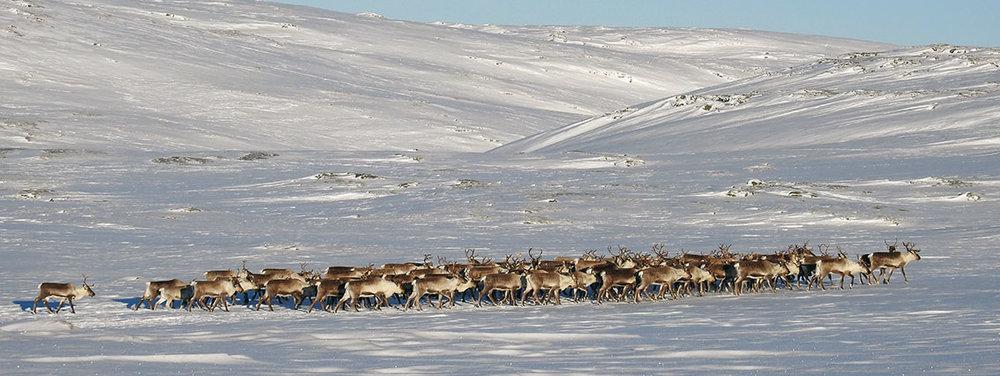 Den tredje store flokken i går. Foto: Ingebrigt Storli