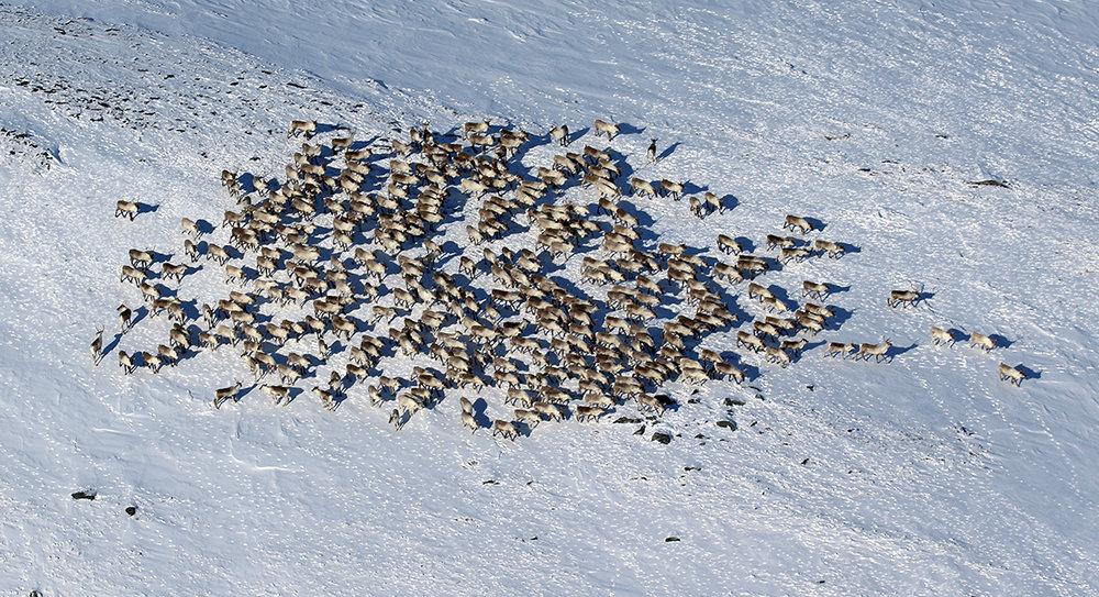 Illustrasjonsfoto fra 30. mars 2016. I denne fostringsflokken fotografert på toppen av Sverjesjøhøa på Kvikne var det 348 dyr. Foto: Arne Nyaas