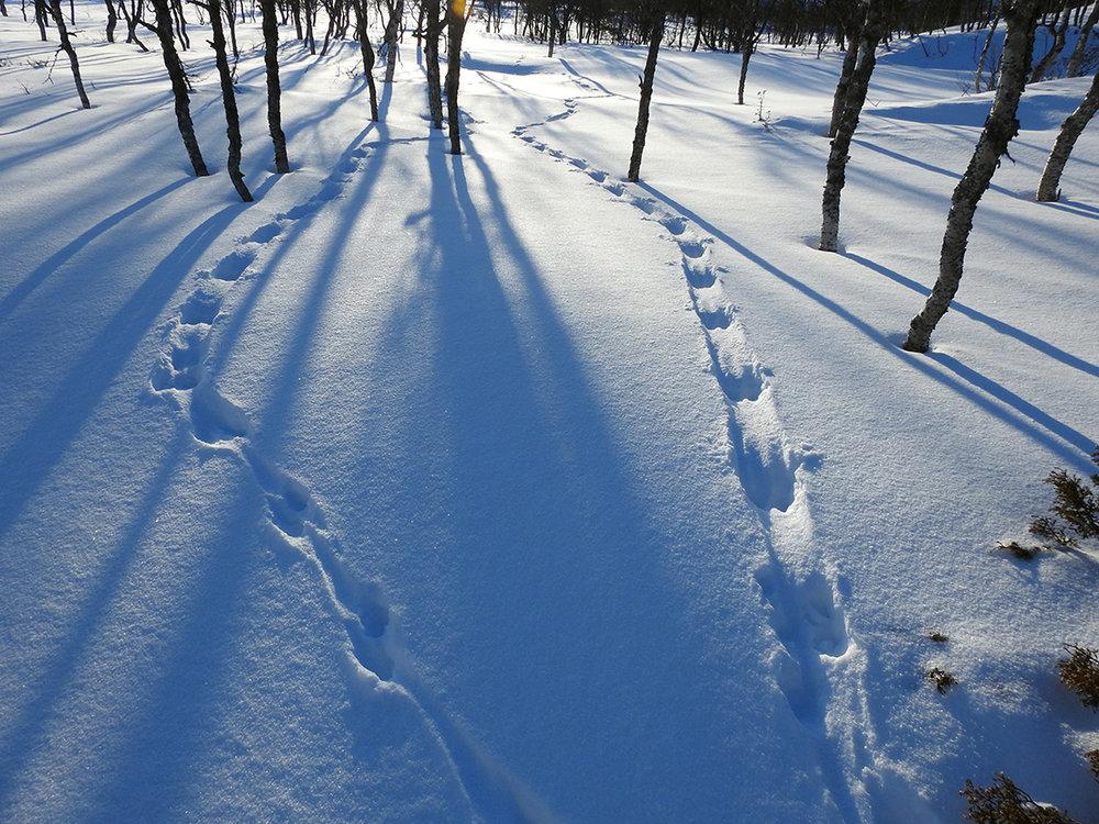 Oteren har satt tydelige spor i snøen i Endalen. Foto 15. mars 2018: Berit Broen, SNO