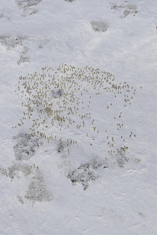 Bildet viser hovedflokken på 826 dyr. Bildet er høyoppløselig og er tatt fra stor høyde. Se utsnitt under. Foto: Arne Nyaas