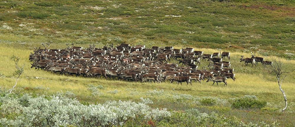 En større fostringsflokk fotografert på kviknegrunn for et par dager siden. Anslagsvis 800 dyr ble sett i området mellom Svartsjøen og Russu. I tillegg har redaksjonen mottatt melding om en bukkeflokk på cirka 25 dyr på Dalhøa (Kvikne) onsdag. Foto: Ingebrigt Storli