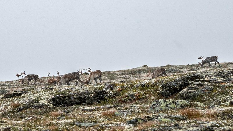 Hei! Legger ved et bilde fra sist søndag (26. august 2018). Vi møtte en liten bukkeflokk i snøværet på Ravaldsfjellet. Flott opplevelse. Med vennlig hilsen Magne Idar Bakken (foto).