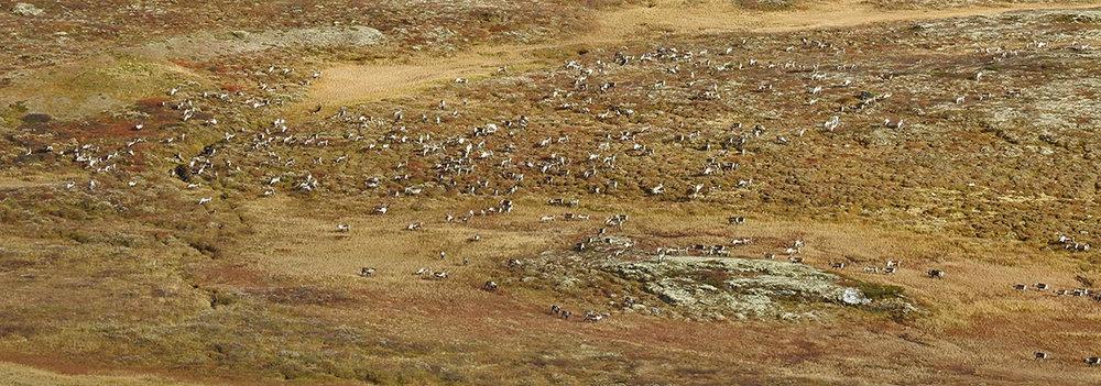 Ideelle forhold for strukturtelling (flokken studeres via teleskop, se bildet under). Foto: Ingebrigt Storli