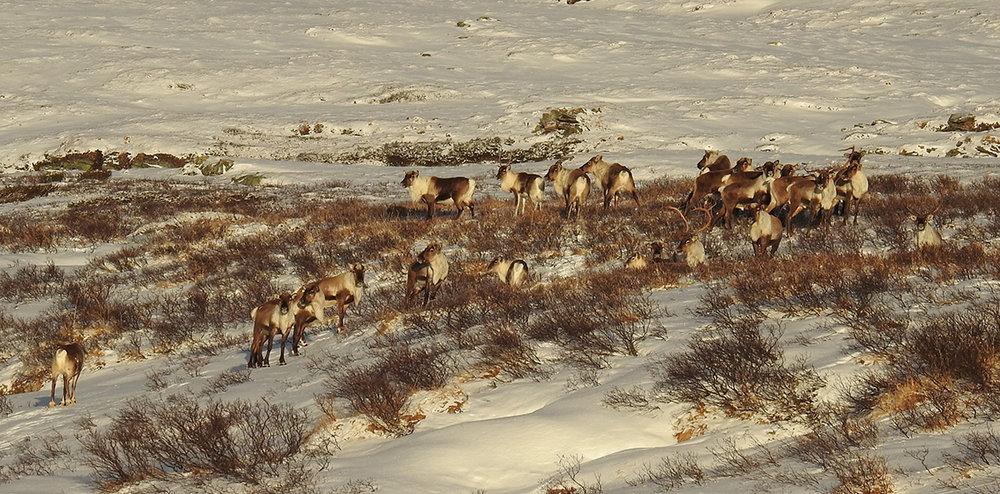 Villreinen i Forollhogna holder fortsatt til langt vest i området. Dette bildet tok Ingebrigt Storli i går (28. november 2018) i området Russubotn-Vehundbolhøgda.