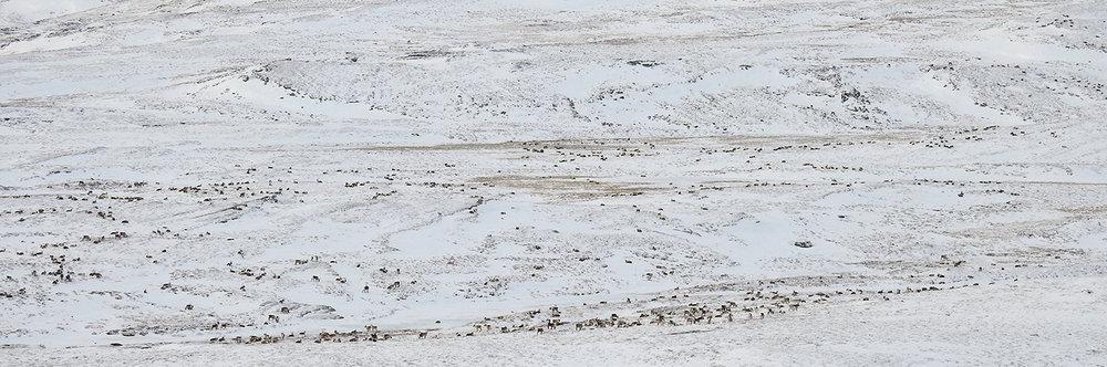 Denne fostringsflokken i området Fremre Russubotn-Vehundbolhøgda ble fotografert på langt hold. I denne hopen er det mange dyr. Foto: Ingebrigt Storli