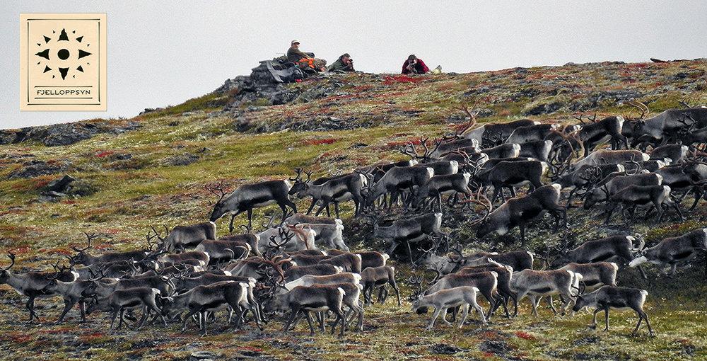 Av kvoten på 300 dyr ble 183 dyr felt i 2018. To dyr ble registrert skadeskutt. Arkivfoto: Ingebrigt Storli