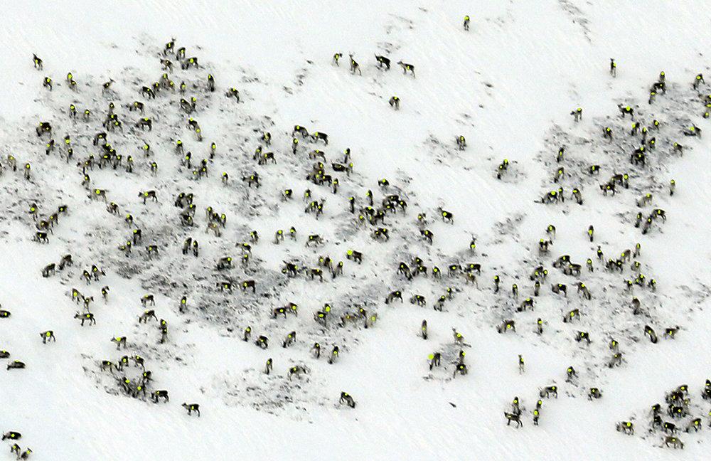 Utsnitt av storhopen på 852 dyr (simle og kalv). Flokken ble fotografert fra stor høyde uten at dyrene ble forstyrret. Foto: Arne Nyaas